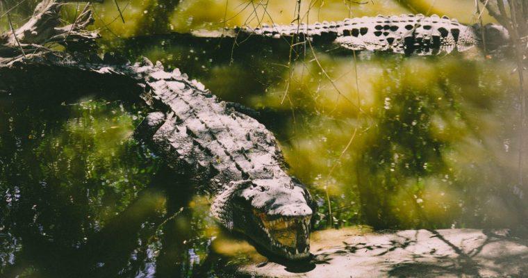 Alligator vs Crocodile: What are the Differences?